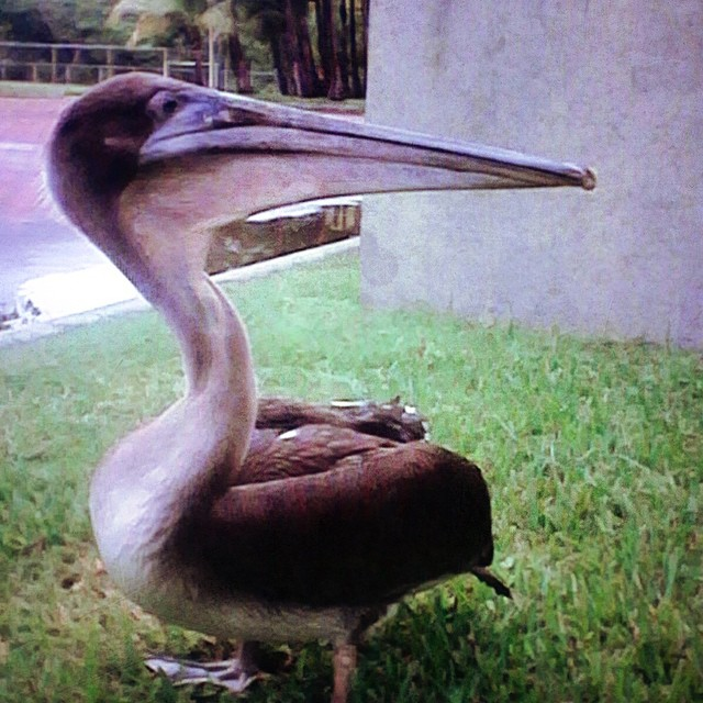 Chente The pelican @puertobarillas  #birdwatching #animallovers #petfriendly #friends #recovering #fish #lovely #graceful # nature # pelican