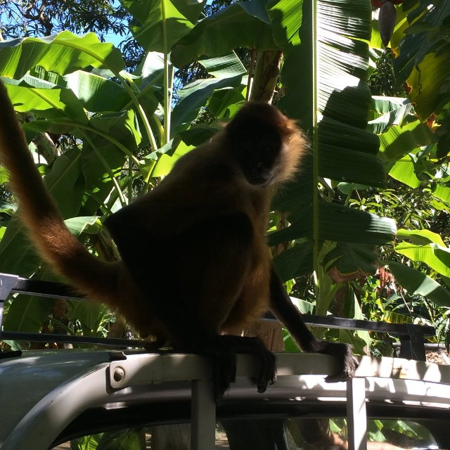 Maria, having fun on top of a  truck .. Visit Puerto Barillas and include the Visit to the monkey sanctuary ... #spidermonkeys #forrest #bananas #experience #adventure #fauna #ecotourism #elsalvador