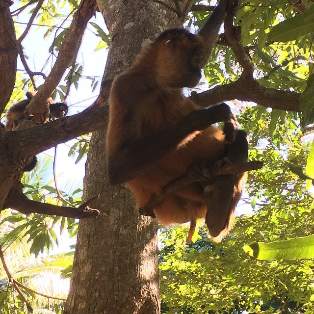 Discover the fun life of the monkey spiders. Visit our monkey sanctuary... You gotta be here!!! Visita nuestro santuario de monos arañas y descubre sus travesuras... Es una experiencia bien divertida. No te la puedes perder!! #monkeys #sanctuary #nature #fauna #entertainment #elsalvador
